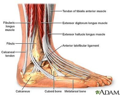 achilles tendon: attaches the calf muscles to the calcaneus, most important  muscles for running, jumping, walking etc  also allows the action of  raising up